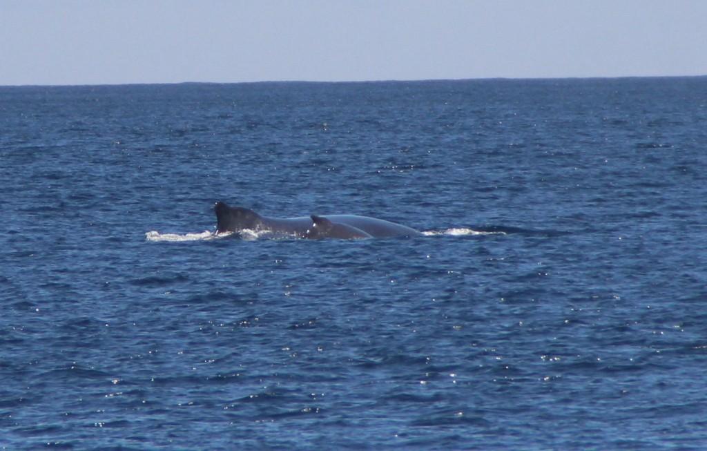 rencontre avec la baleine bleue et son baleineau
