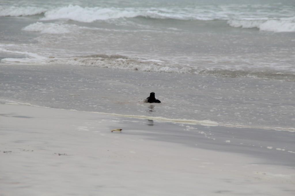 un iguane sortant de la mer