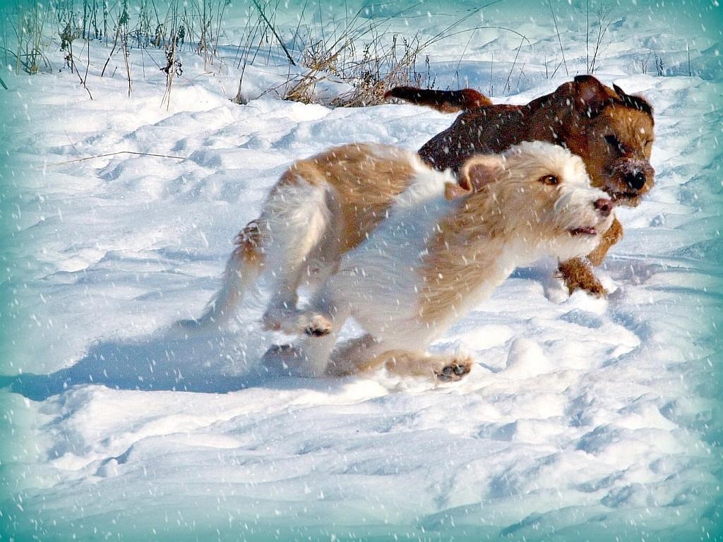 12.02.2012  Viva & Grace rennen durch den Schnee