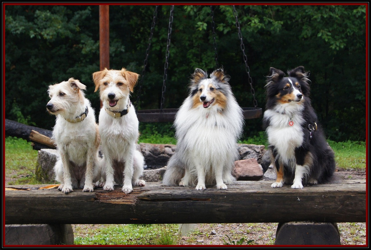 Mandy, Tara, Joy & Ira. Kromis & Shelties, einfach SUPER !