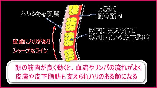 顔の筋肉がよく動くと、皮下脂肪や皮膚が支えられ、シャープなラインとパッチリ目元の若々しい顔になる。松山市のあい整骨院久枝の小顔ケアは、これらの筋肉を効率よく刺激し動かしていきます。