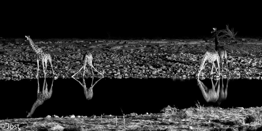 Nachts am Wasserloch mit Giraffen