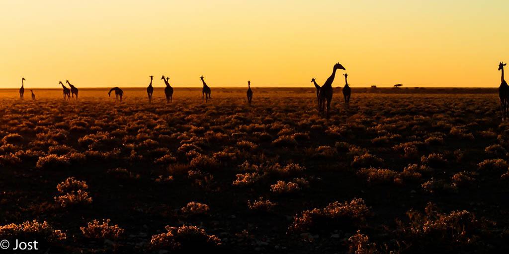 Sonnenaufgang mit Giraffen im Etosha Nationalpark Namibia