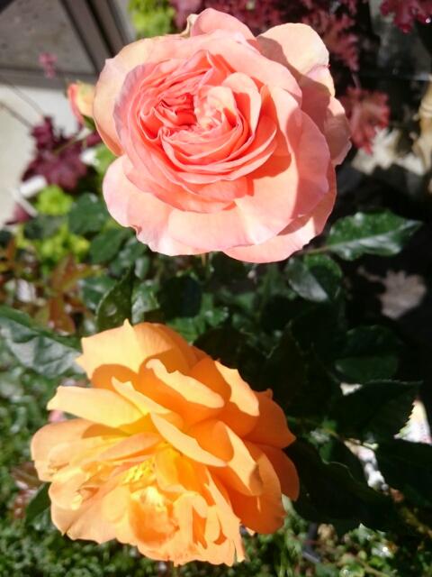 四季咲き薔薇「ゴルデルゼ」