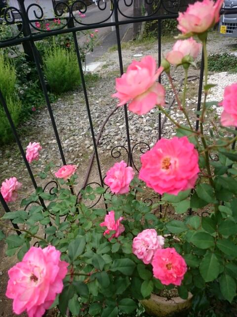 四季咲き薔薇「るる」