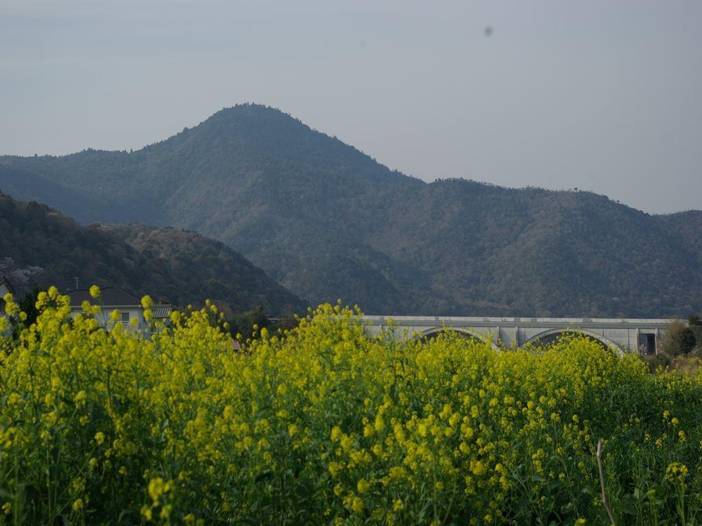 菜の花と大麻山