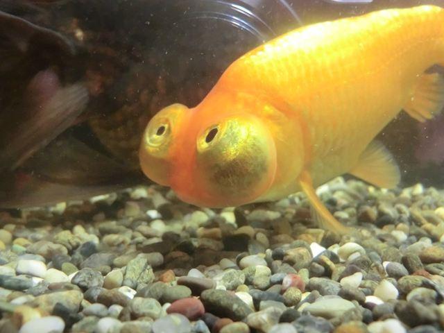 通りすがりの金魚さん(食べてません)