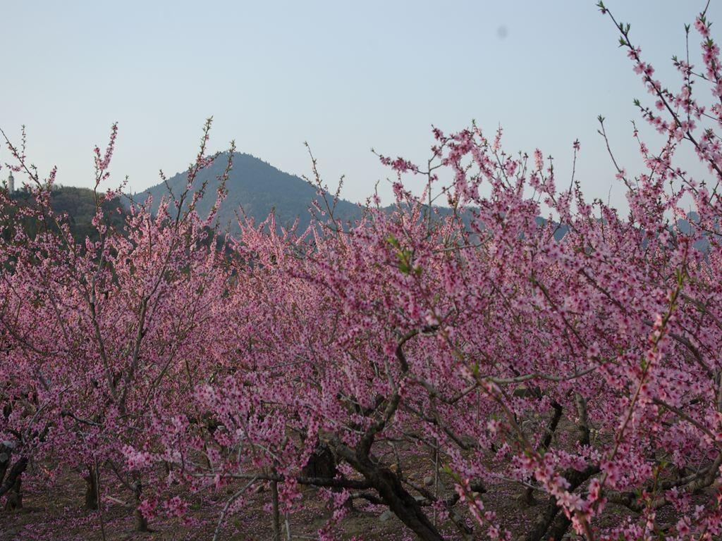 桃の花と大麻山