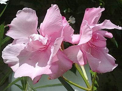 OLEANDER HAUS, Oleander, Oleander Sorten, Dr. Ragioneri