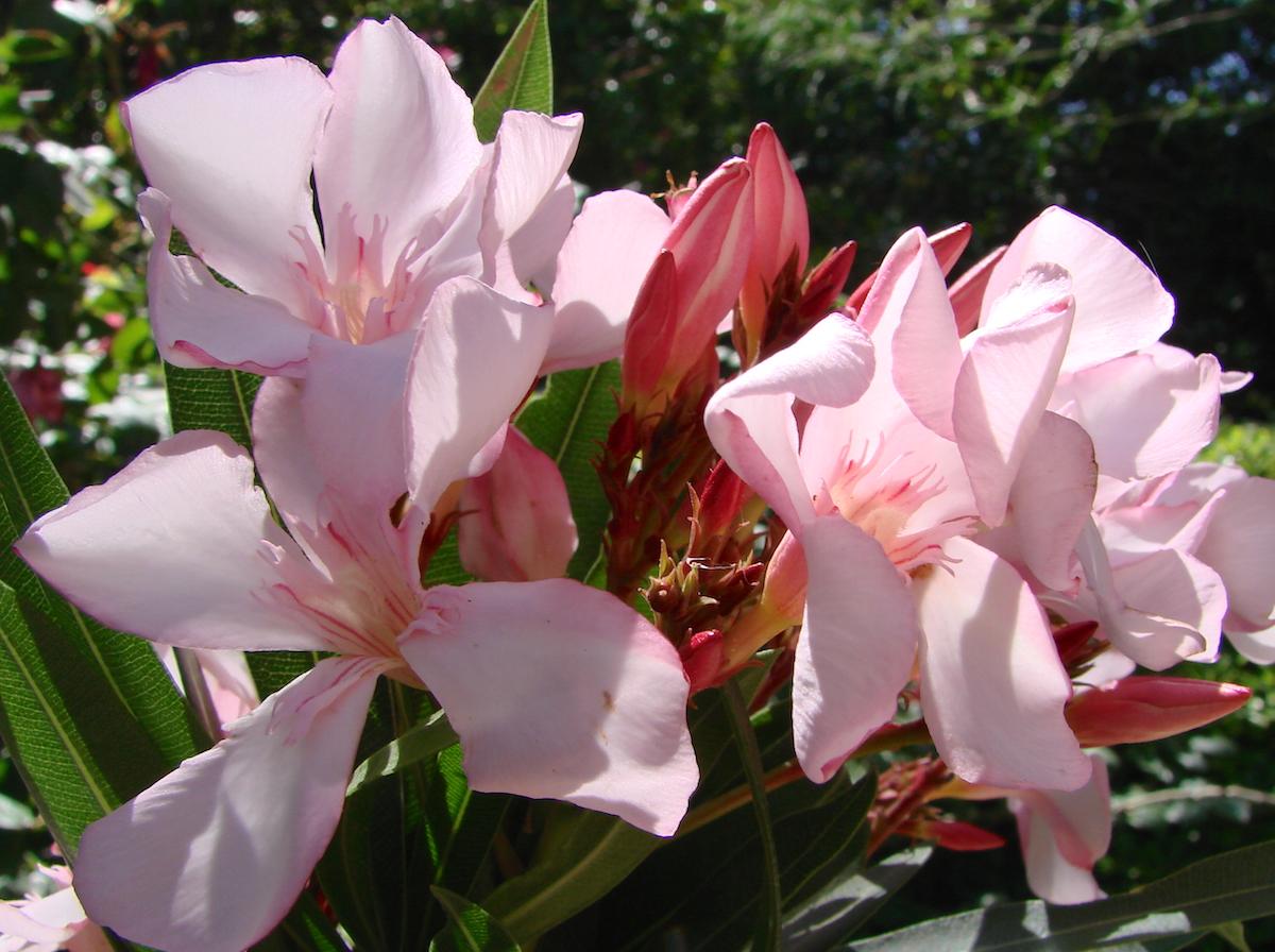OLEANDER HAUS  Nerium Oleander Gotsis Kronos