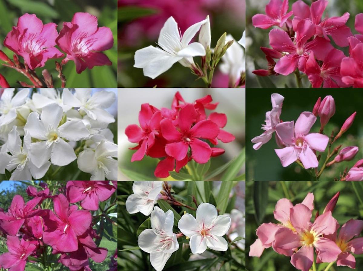 Oleander, Die Ungarische Oleander Gesellschaft besucht OLEANDER  HAUS