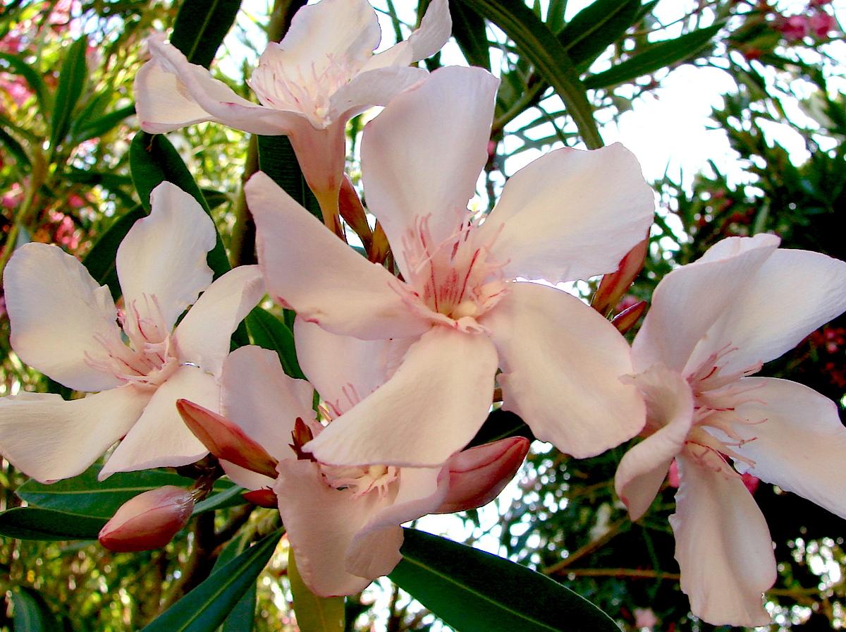 OLEANDER HAUS  Nerium Oleander Gotsis Achill