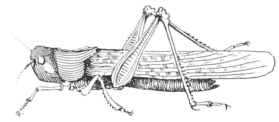 Die Heuschreckennot im Sommer 1338