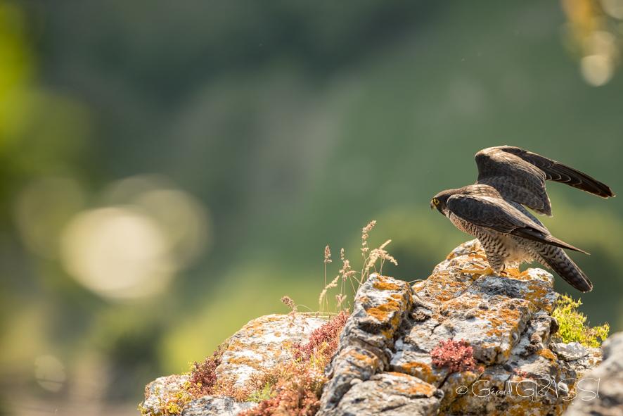 Faucon pèlerin de la Sye ©GG