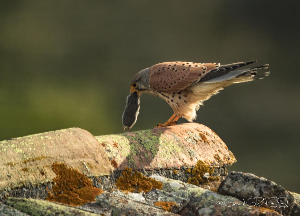 Faucon crécerelle du rempart ©GG