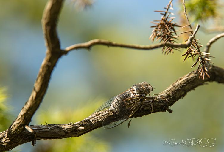 Grande cigale ©GG