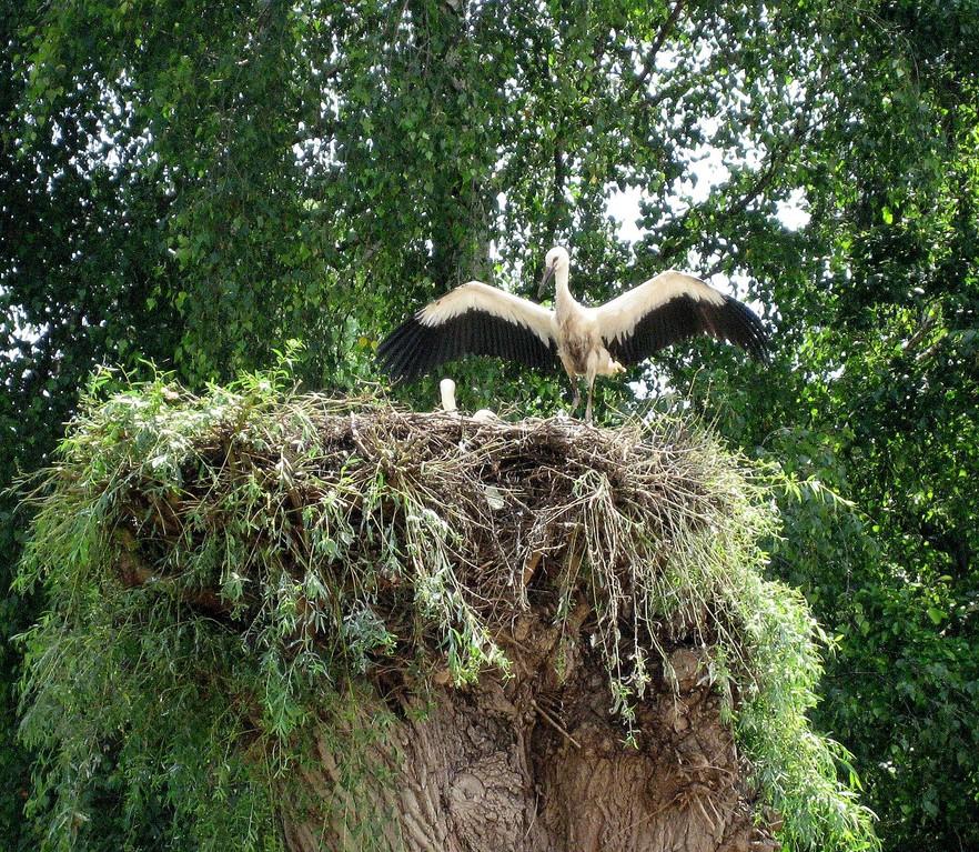 Erste Flugversuche? Jedenfalls beeindruckend das Schauspiel des Jungstorchs- für uns und seine staunenden Nestbrüder - oder -schwestern.