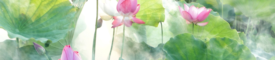 Lotusblüten im Nebel