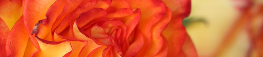 Die zwei Rosen