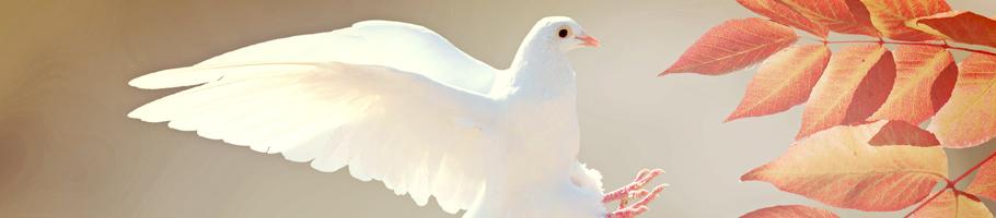 Weiße Taube im Landeanflug