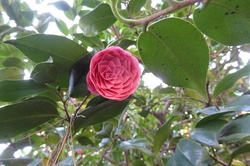 幾何学模様のような椿の花に見入る。。