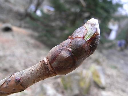 チェストナットバッド(栃の木の新芽)