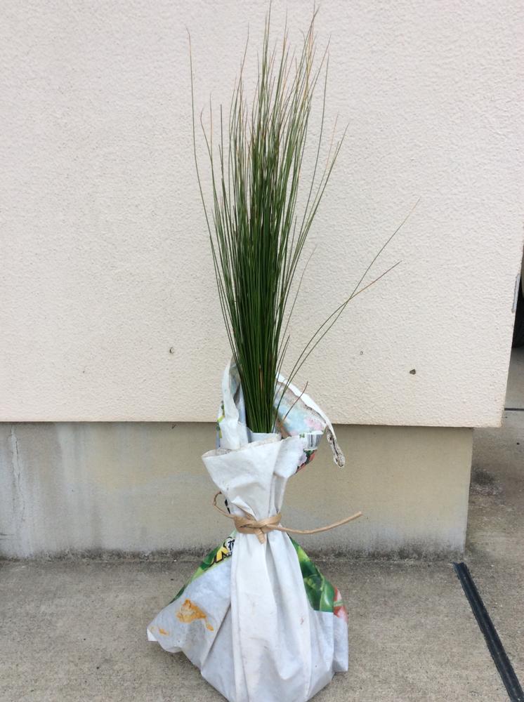 お客様からご注文いただいた、い草の苗です。