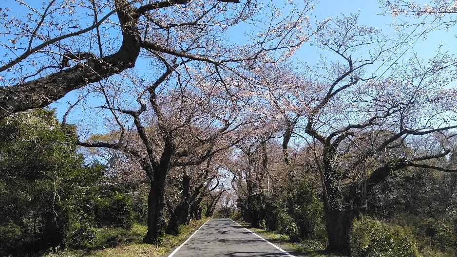 地元橘地域の桜の風景です。