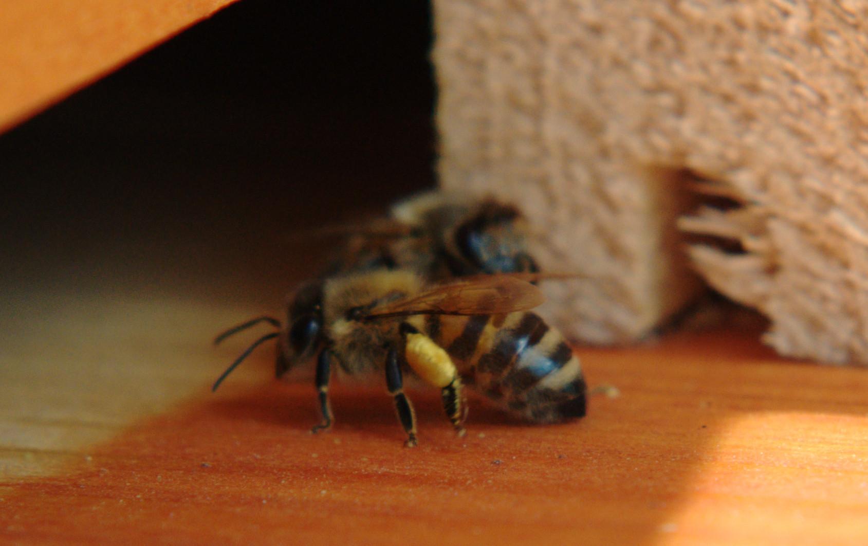 Gelber Pollen