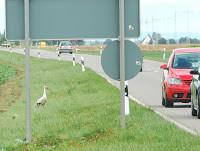 Storch an stark befahrener Straße     Foto:AktionPfalzstorch