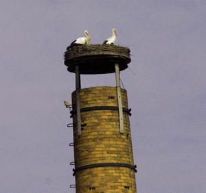 Nach dem Partnerwechsel. Das Storchenmännchen Kurt + Storchenweibchen Frieda auf dem Nest. ( links unter dem Nest  sitzt ein Falke)    Foto: Ulrike Mose