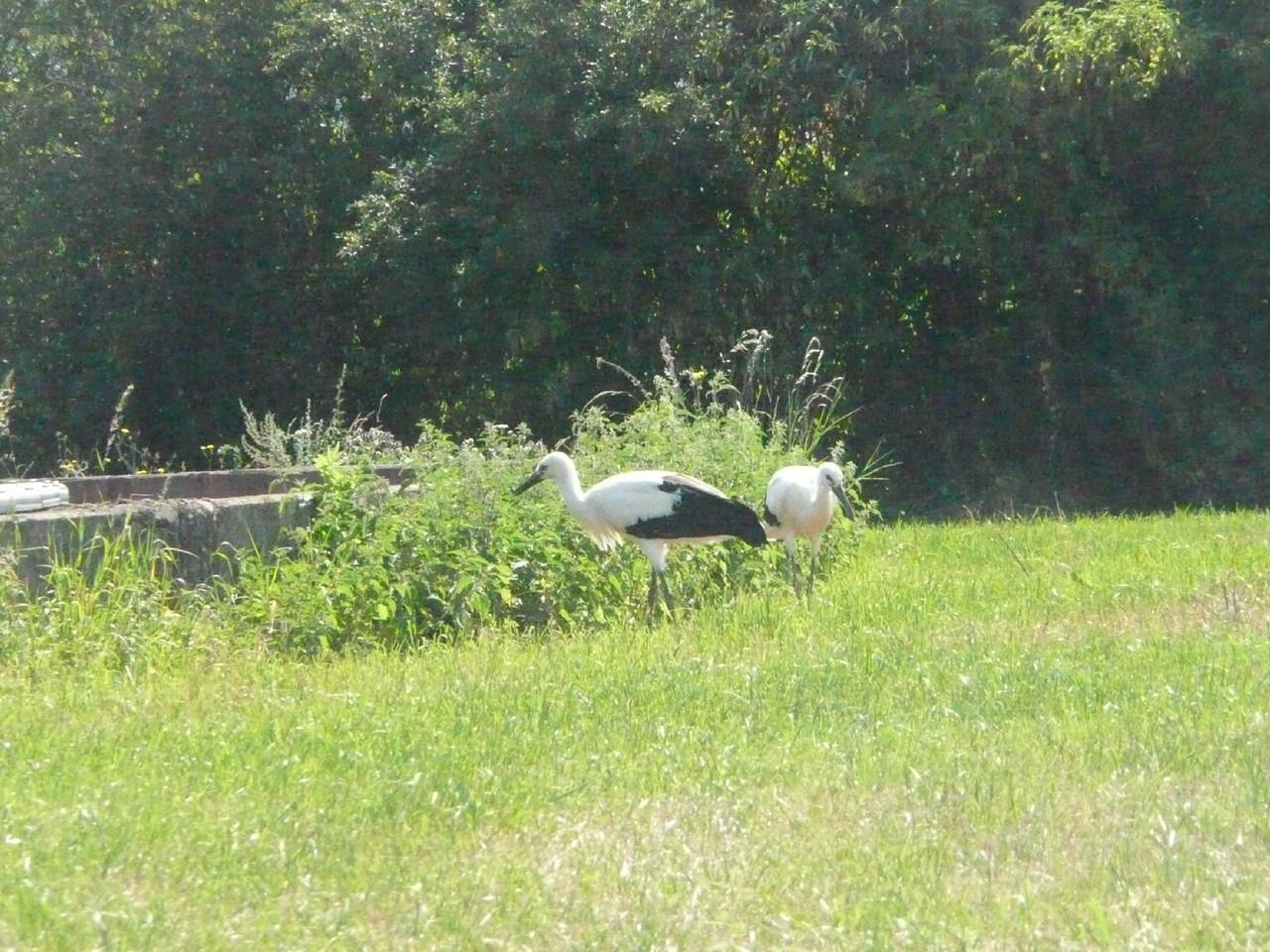Jungstörche erkunden erstmalig die Umgebung rund um ihr Nest.    Foto: Ulrike Mose   Fotos:Ulrike Mose