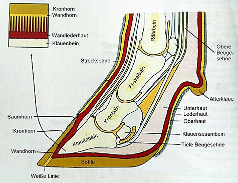 Anatomie der Klaue