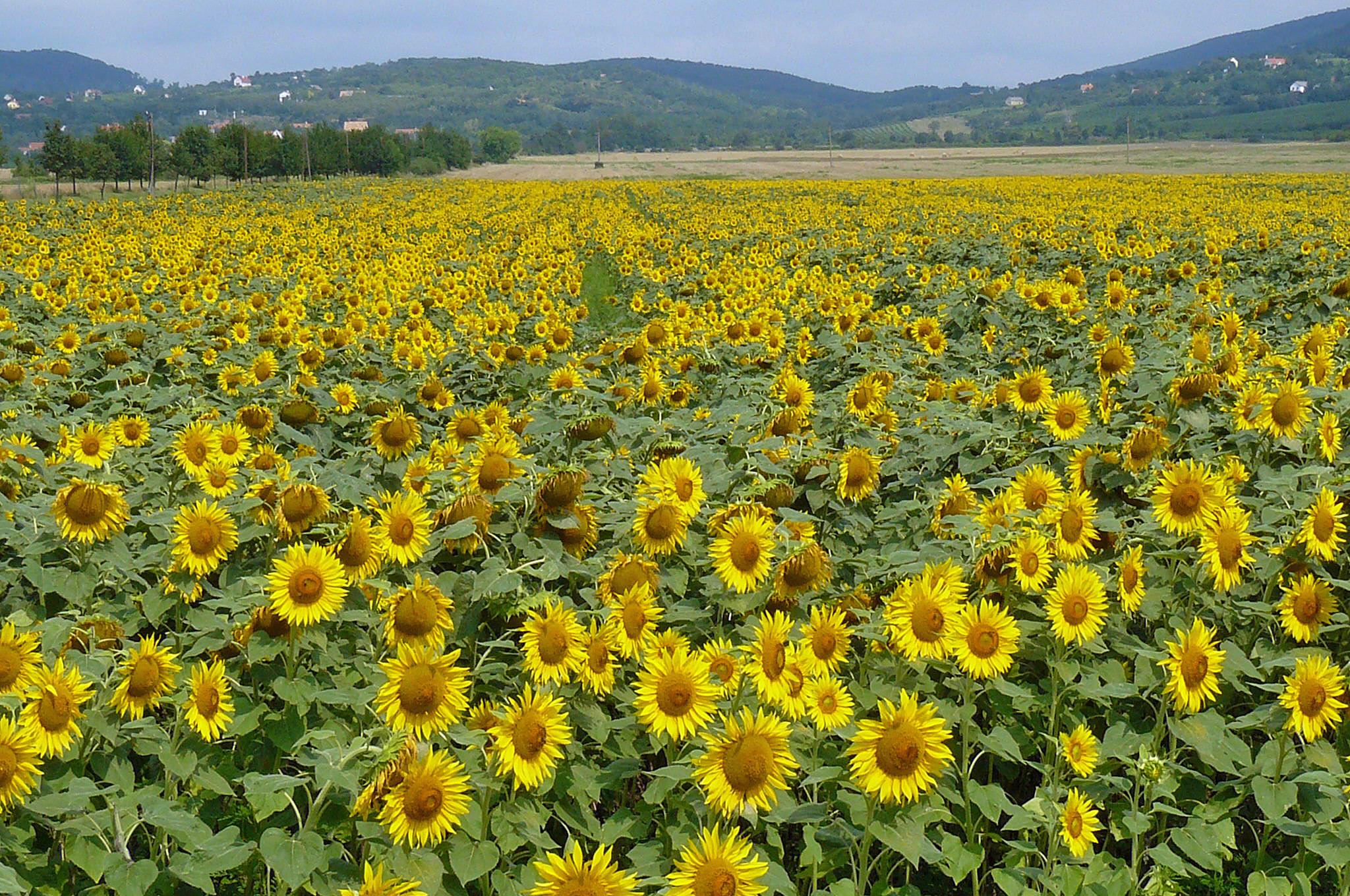 Zonnebloemen bij de plaats Szentbékkálla