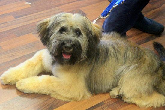 Tibet Terrier Benno