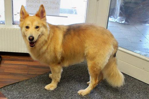Schäferhund Leila wurde viel Unterwolle entfernt und ein wenig beigeschnitten