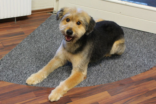 Bobtail - Schäferhund Misching Jerry