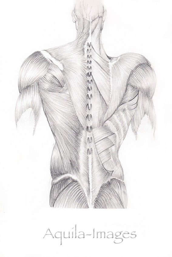 Medical Illustration - The Human Back Muscles
