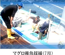 マグロ稚魚採補(7月)