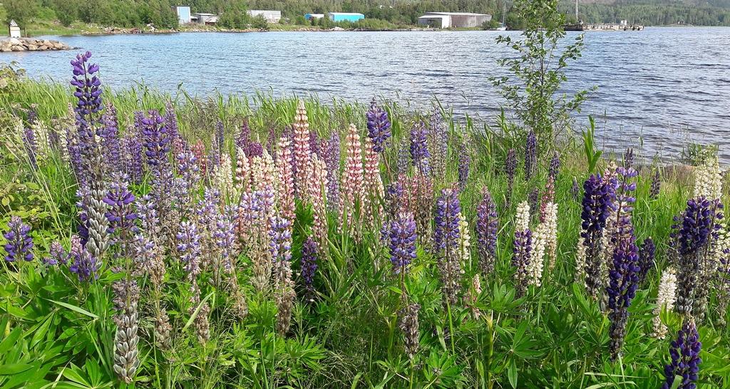 Auch in Schweden gibt es Lupine
