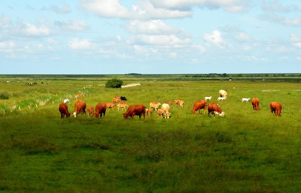 Wieder gewohnte Bilder - Kühe statt Schafe