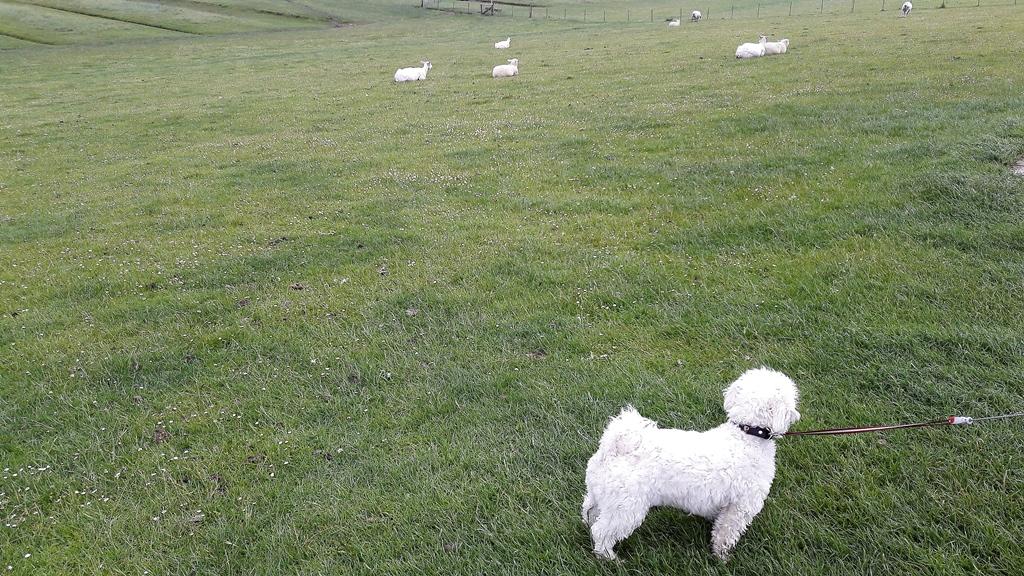 Schafe? Freilaufende Schafe?!