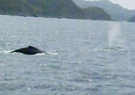 親子のザトウクジラ