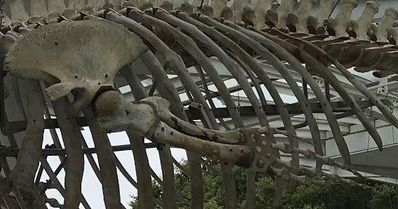 ナガスクジラ 左側の肩甲骨