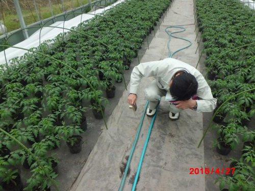 ぼくんちの苗を撮影する、普及員の様子を盗撮 (笑)