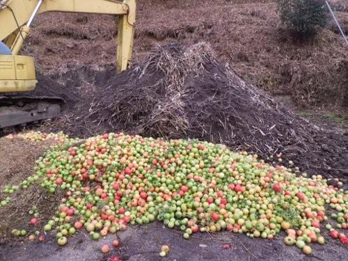 廃棄トマト、これでもまだ三分の一