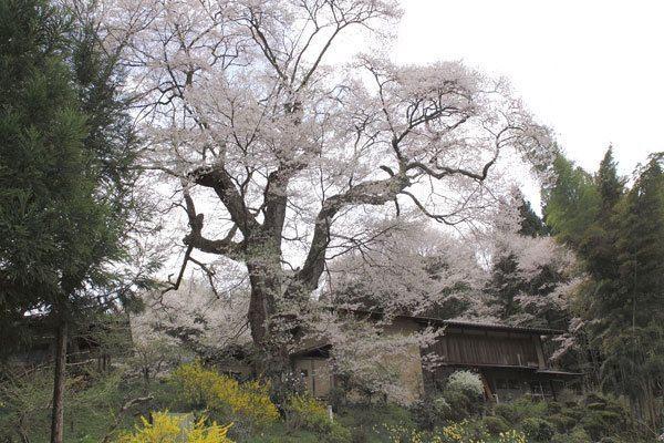 新田の桜、商工会宮嶋氏撮影4月23日