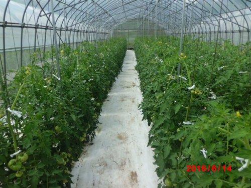 各種試験の様子・・ここは土耕での、溶液栽培試験