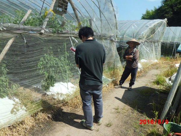 産地最高齢の84歳の現役トマト農家の佐々木さん