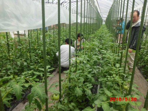 これも石川農園、早期作付け